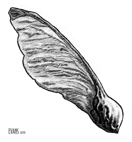 Winged Maple Seed