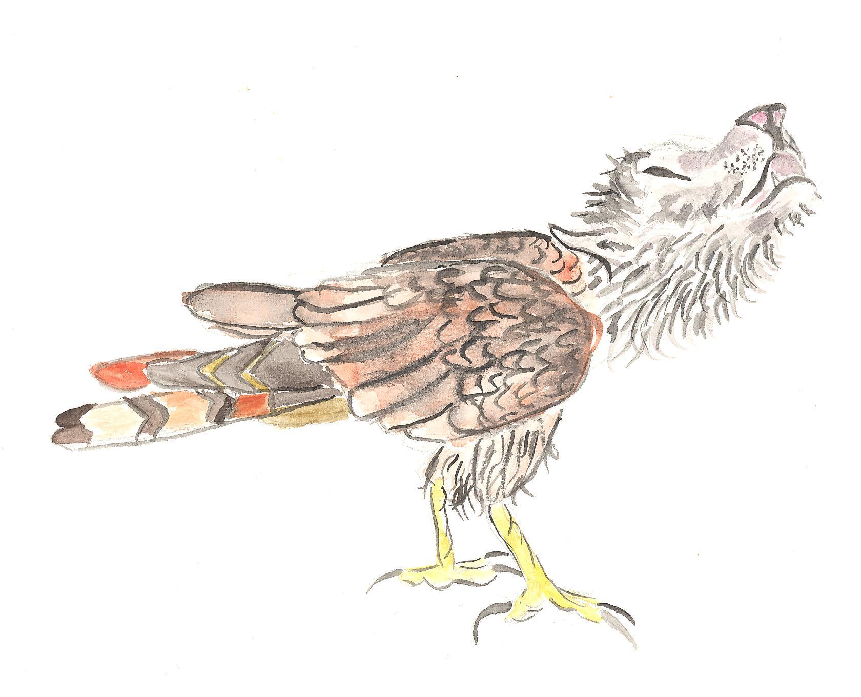 Aveslupus