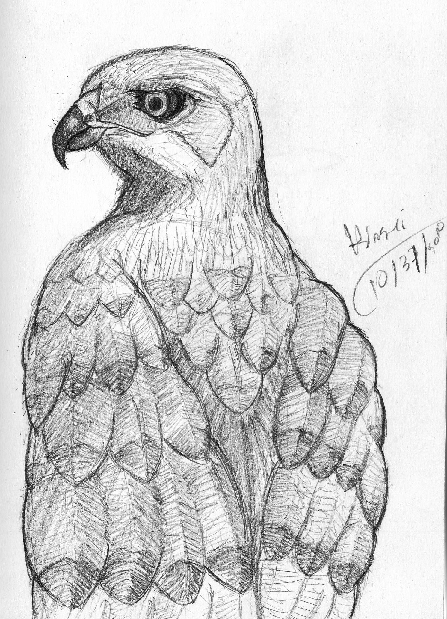 Streak The Hawk