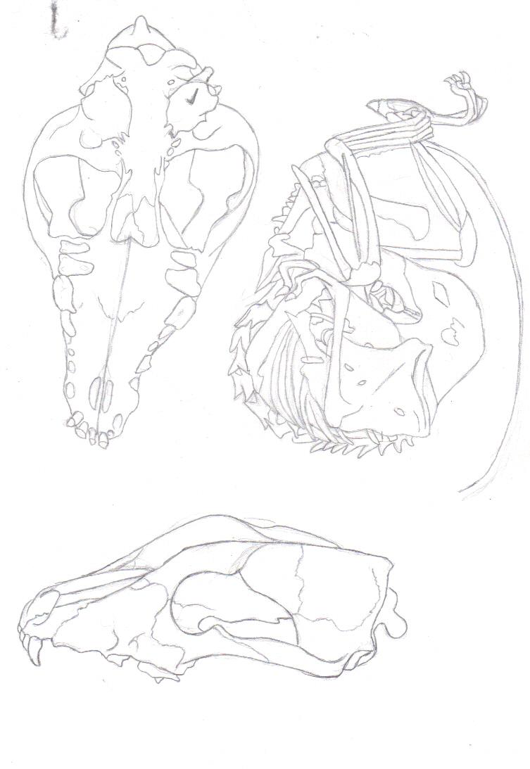 animal skulls study