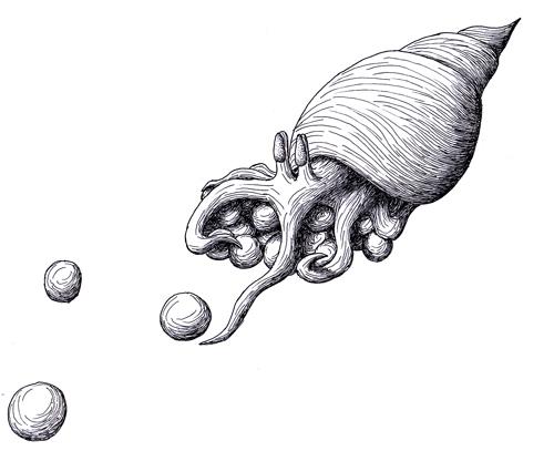 Hermit squid with eggs