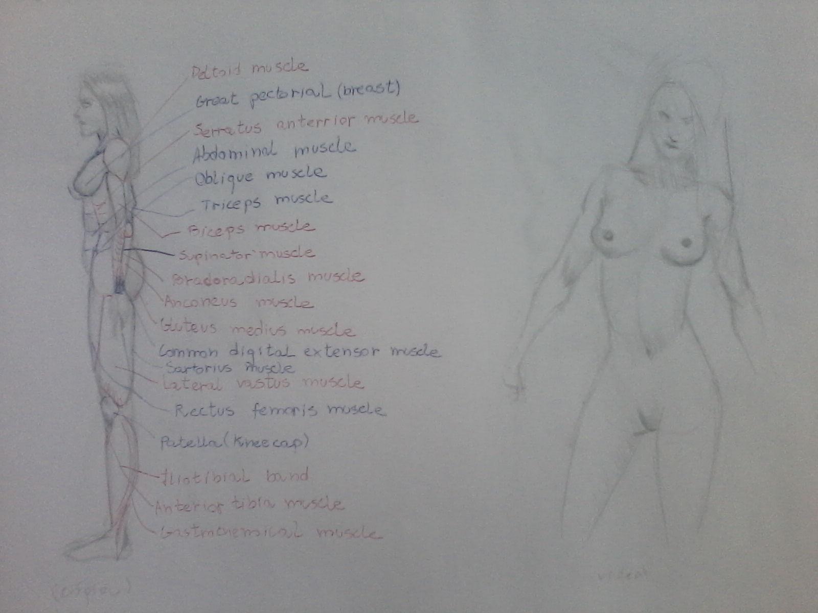 Anatomic study 2
