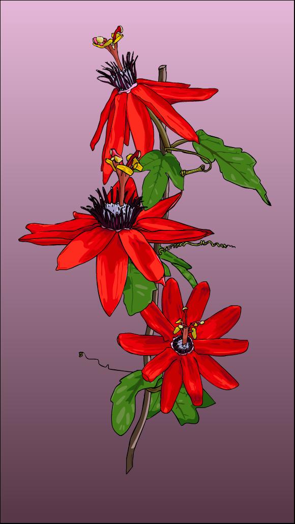Passion Flower Stem