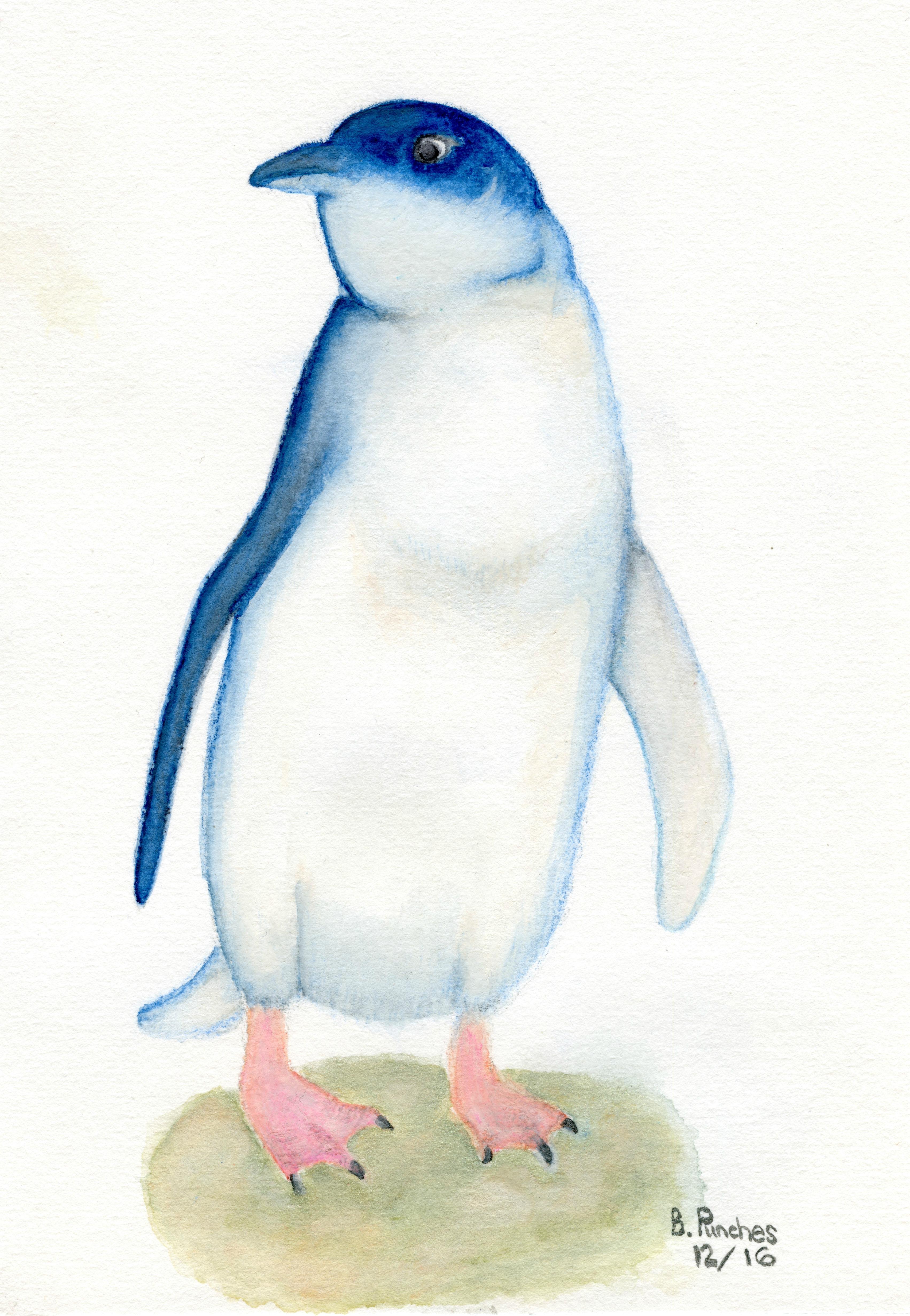 Little Blue Fairy Penguin