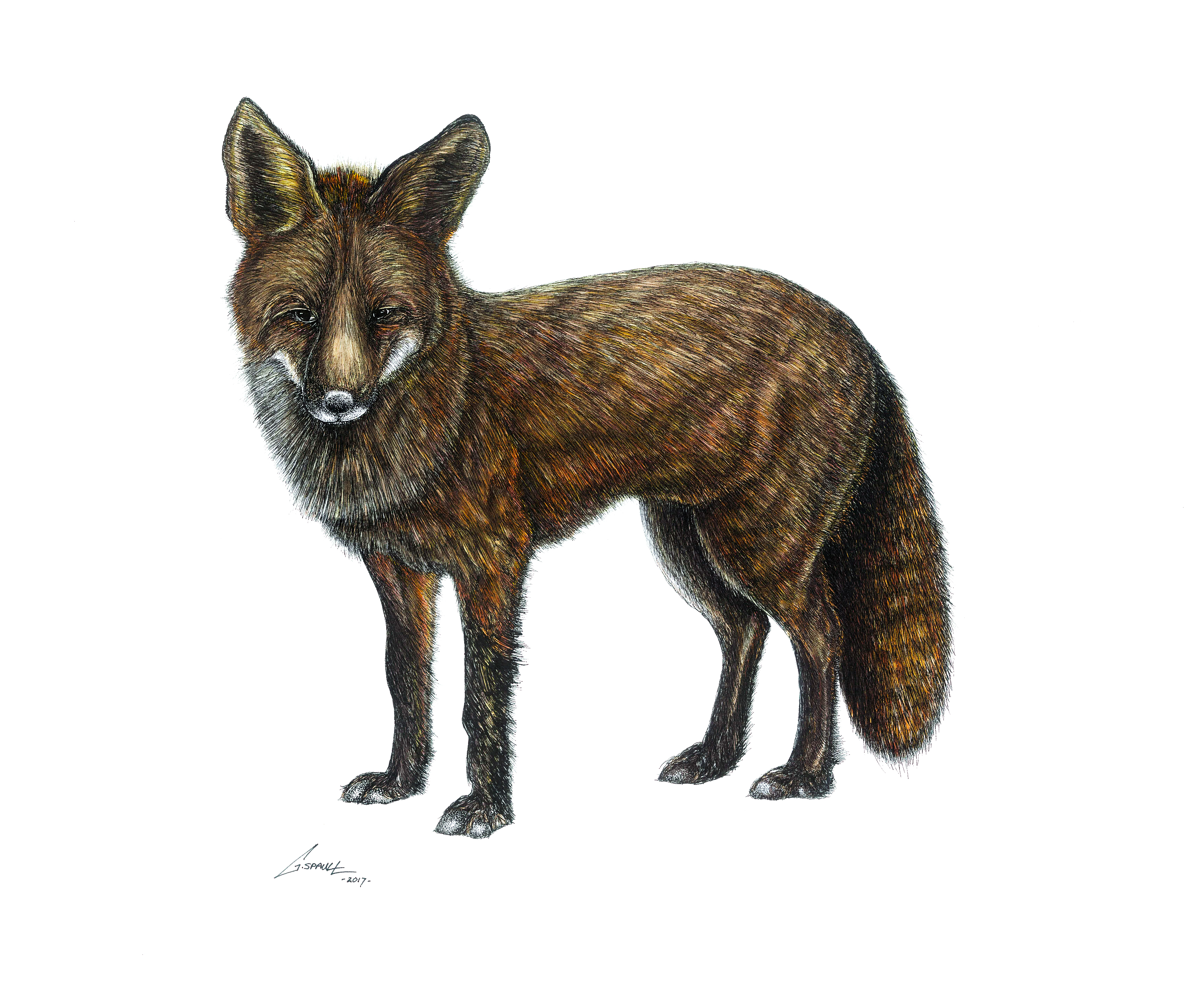 The Red Fox (Colour)