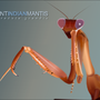 Giant Indian Mantis by cptyossarian