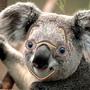 High Koala by Kch51