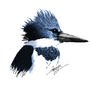 Belted Kingfisher by MoriChax
