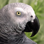 African Grey Parrot by Louise-Goalby