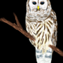 A Barred Owl by Lugen