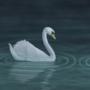 Seven Swans by Luwano