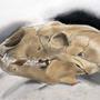 Ursus Americanus [Cranium] by StereoTypo