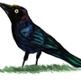 Common Grackle by daigonite