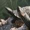 El Dorado Turtles: Sun Bath