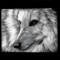 Wolf request