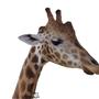 Giraffe by blochead