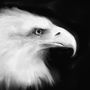 eagle by Surfsideaaron