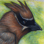 Cedar waxwing - Colored Pencil by toshema