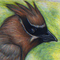 Cedar waxwing - Colored Pencil
