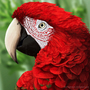 Scarlet Macaw by Louise-Goalby