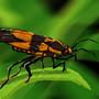 Milkweed Bug by Th3Reaper