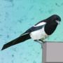 Exiguous Magpie by djhoneyb