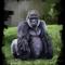 Morning gorilla study