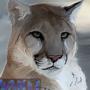 Cougar Blinkings by DanJamesv