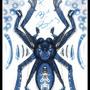 """Poecilotheria sp """"Blue Bury"""" by GhostCreek"""