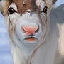 Reindeer head study by StevenX7