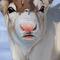 Reindeer head study