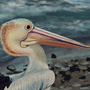 Pelican of Indented Head by Tektyx