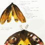 Death's head moth by KattyC