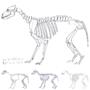 Wolf skeleton study by Pralinlin