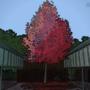Flame Tree by Aqlex