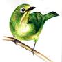 Mata Perak Bird by akoRn