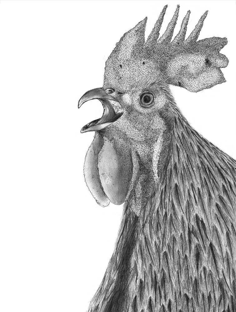 Feral Rooster
