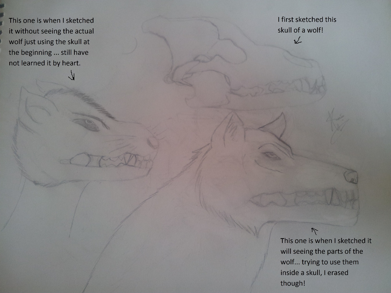 Practicing wolf side drawing