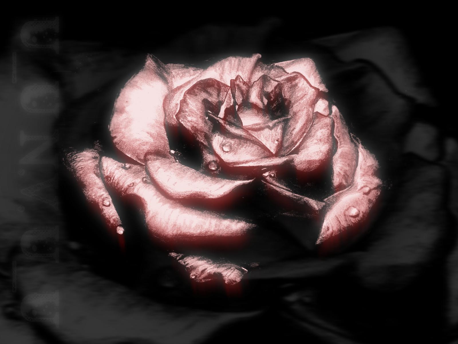 Reddened Rose
