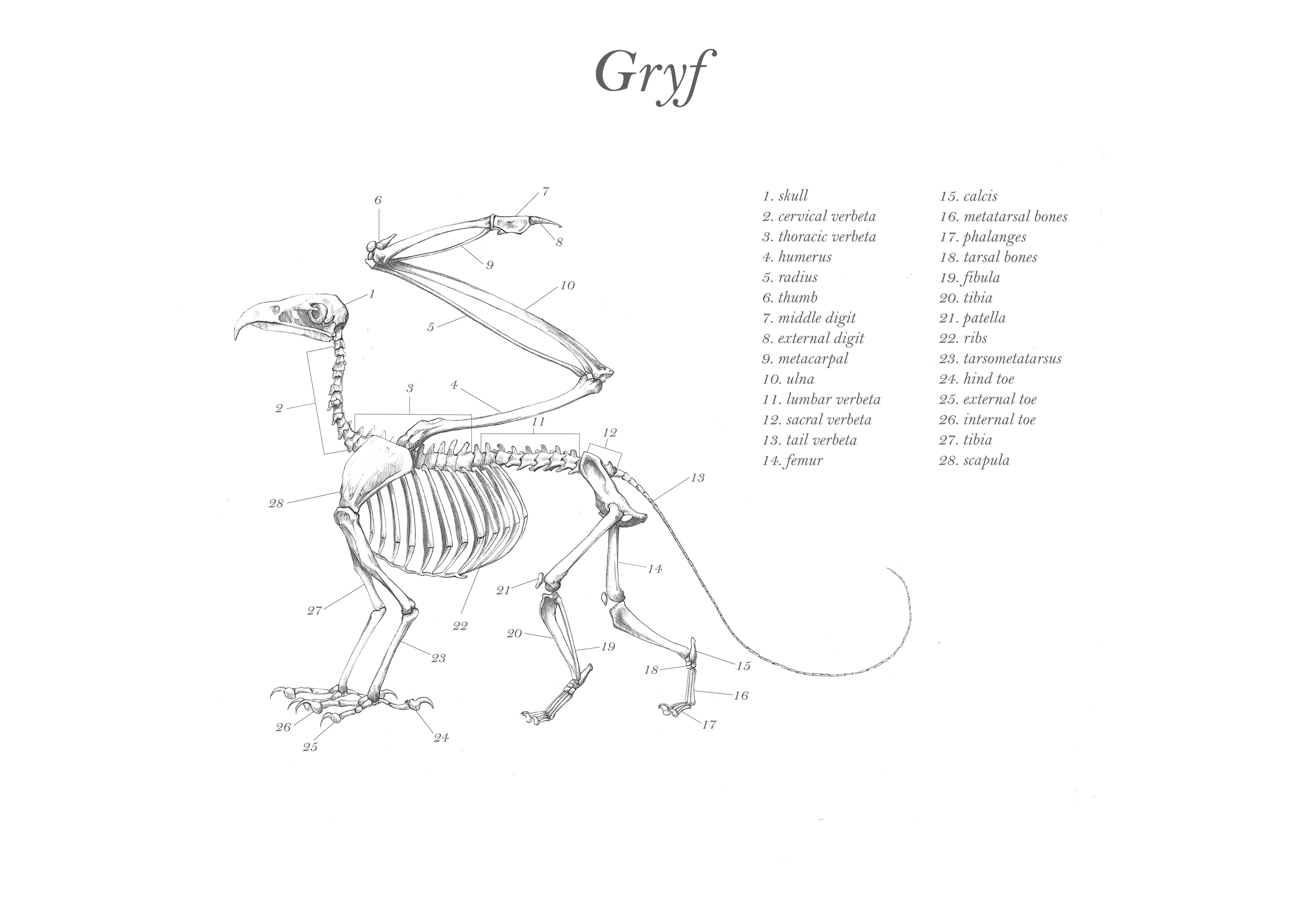 Gryf's skeleton
