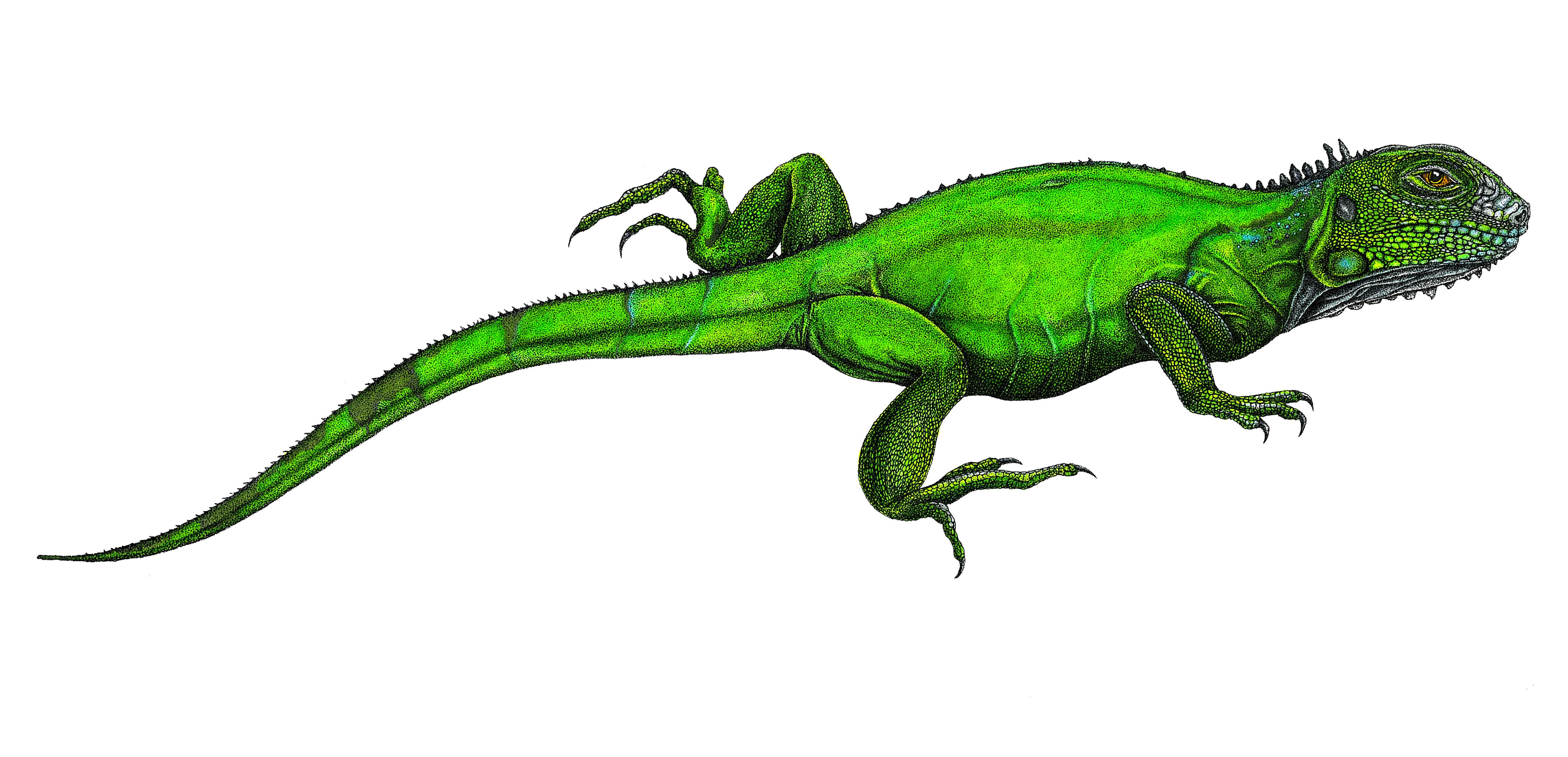 'Boga Iguana' Colour application