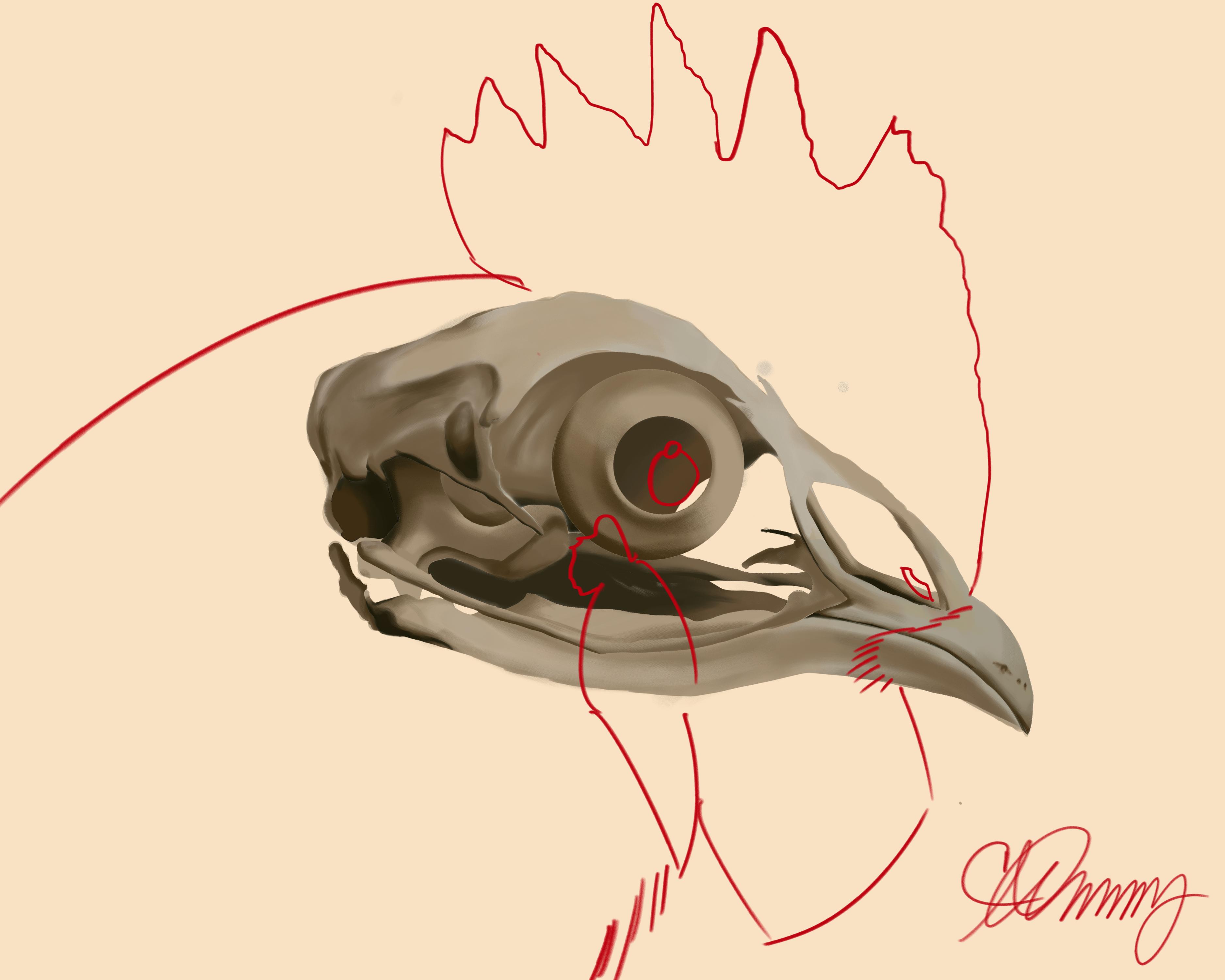 Cock Bone