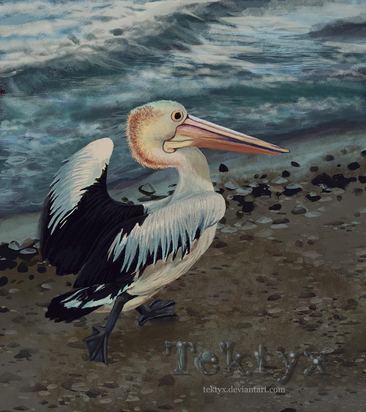Pelican of Indented Head