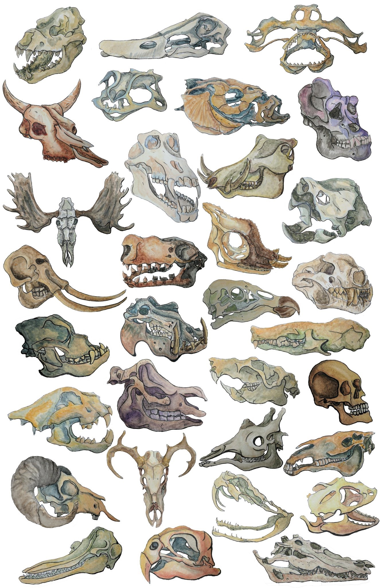 Watercolour skulls