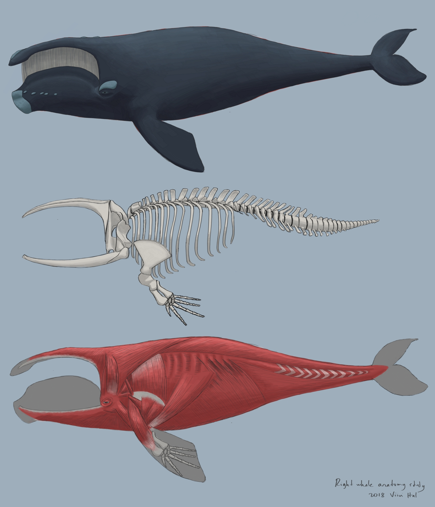 Whale anatomy study by Pralinlin on Newgrounds