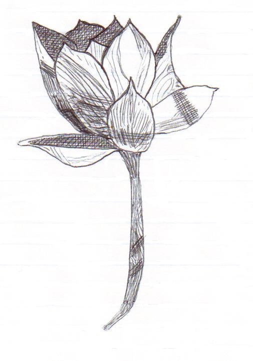lotus in pen