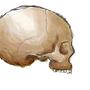 Original Refined Skull