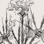 Gossip Plant in Bloom