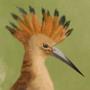 Eurasian hoopoe
