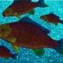 rainbow carp seass!